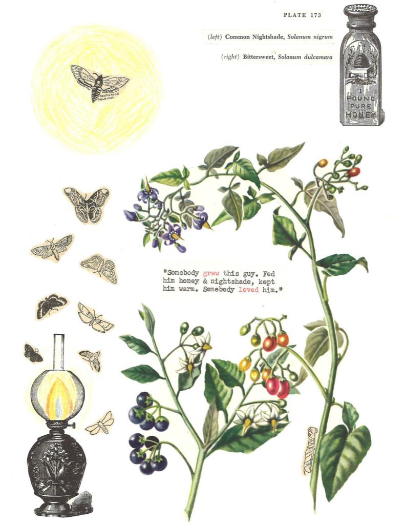 """(nightshade & bittersweet / plate 173)"" by Lindsay Lusby"